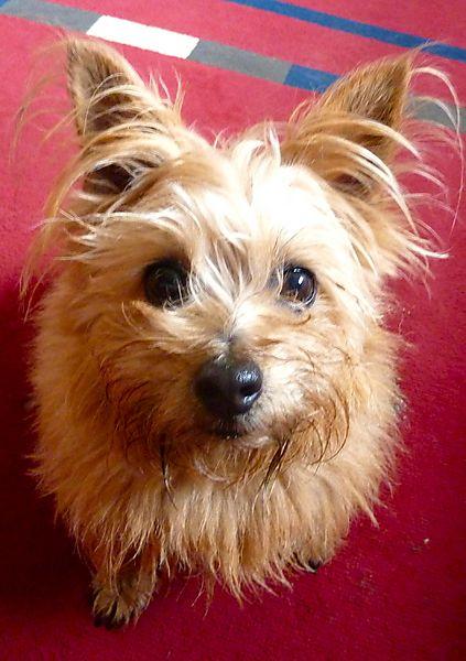 Norfolk Terrier Sweetpea