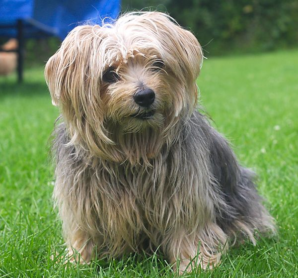 Cornie - sweet Norfolk Terrier