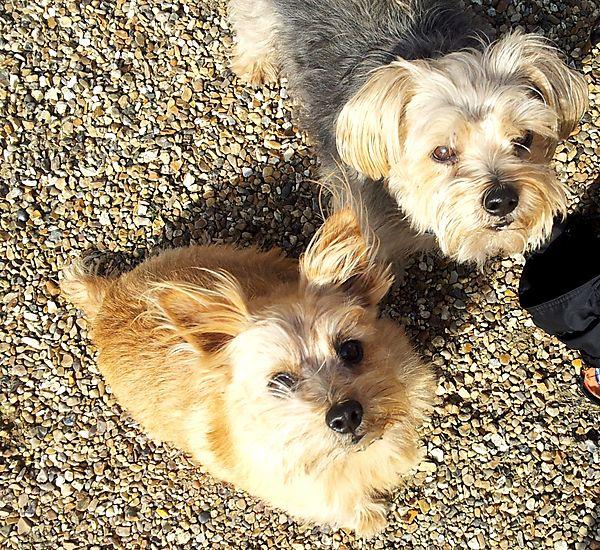 Norfolk Terriers Sweetpea & Cornie