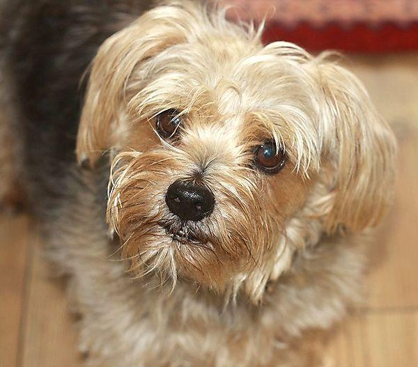 Cornie the Norfolk Terrier