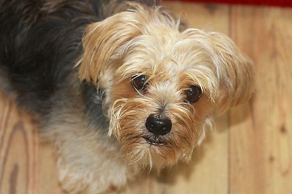 Cornie - Norfolk Terrier