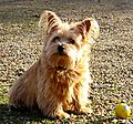 Norfolk Terrier Sweetpea guarding her ball