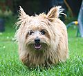 Sweetpea the Norfolk Terrier