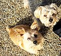 Norfolk Terriers Sweetpea & Cornie
