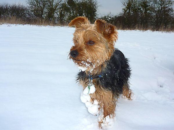 Morgan Yorkshire Terrier
