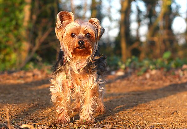 Lilly the lovely Yorkie
