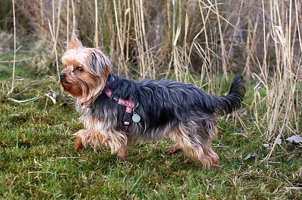 Yorkie Lily duck hunting