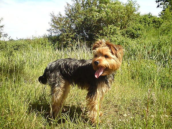 Morgan the Yorkshire Terrier