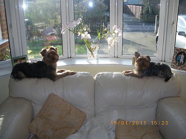 Yorkies, Morgan and Lilly