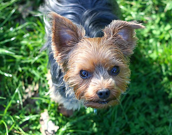 Beautiful Sweet Lilly the Yorkie