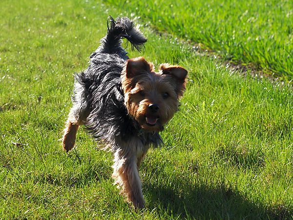Yorkie Morgan enjoying a run