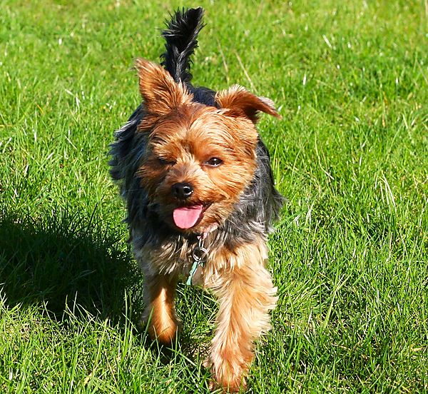 Yorkshire Terrier, Lilly