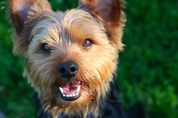 Smiling Morgan the Yorkshire Terrier