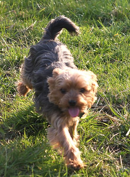 Little Lilly - Yorkshire Terrier