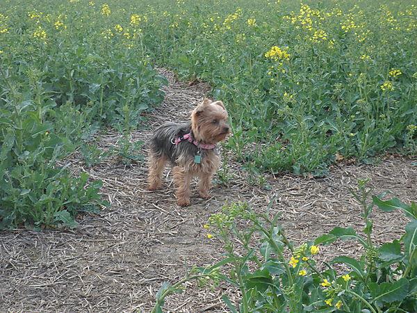 Lilly the Yorkie enjoying her walk