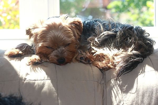 Yorkshire Terrier - Snoozing Lilly