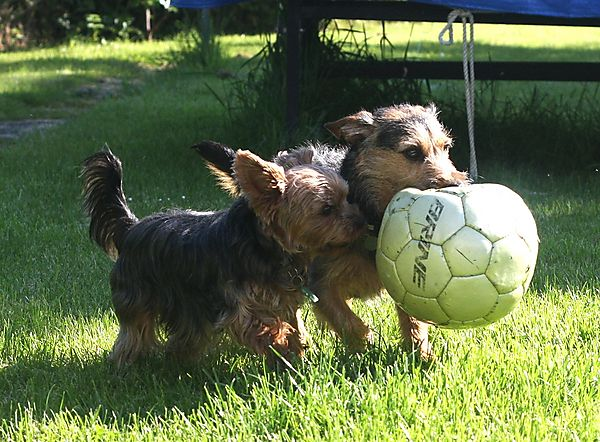 Lilly and Punch playing football