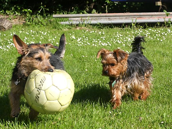 Lilly and Punch - Jack Russell and Yorkshire Terrier