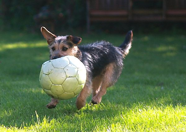 Jack Russell and a game of football