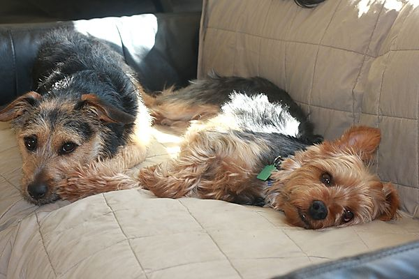 Morgan the Yorkie and Punch a Jack Russell