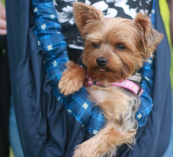 Yorkshire Terrier - Little Lilly