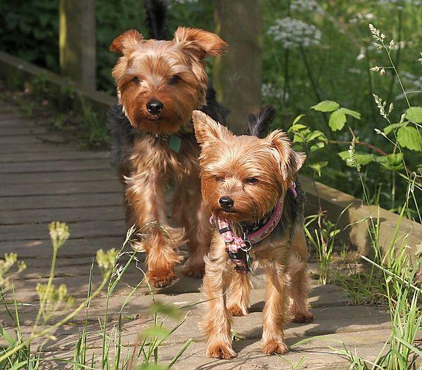 Yorkies Morgan & Lilly on walkies