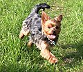 Lilly - Yorkshire Terrier