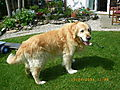 photo thumbnail Golden Retriever Dook