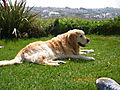 photo thumbnail Dook, Golden Retriever