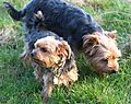 Yorkies exploring together