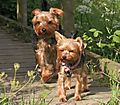 Yorkies Morgan & Lilly on walkies