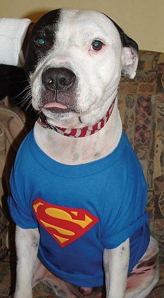 Mixed Breed Chino - Super dog