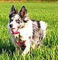 photo thumbnail Kassie the Collie