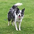 Kassie the Merle collie