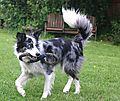 photo thumbnail Border Collie Kassie