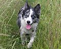 Blue eyed Border Collie