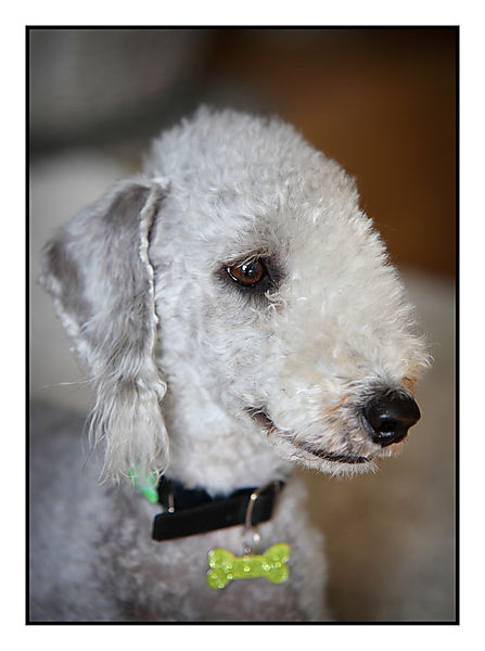 Mabel Bedlington Terrier