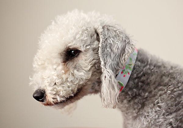 Millie the Bedlington Terrier