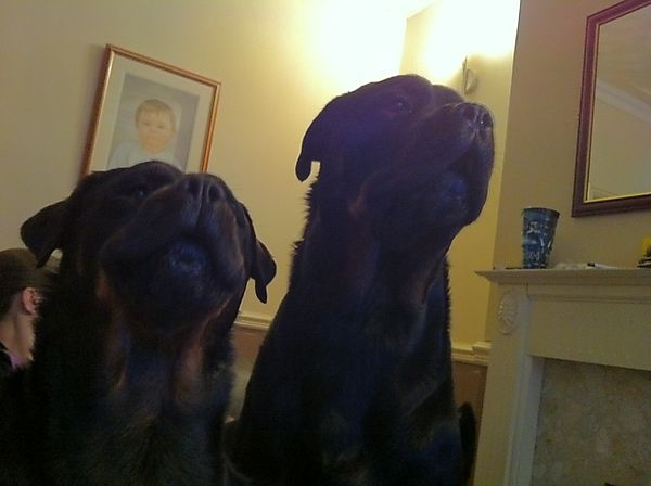 Rottweilers Rosie & Dave