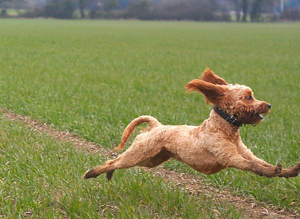 Flying Cockapoo