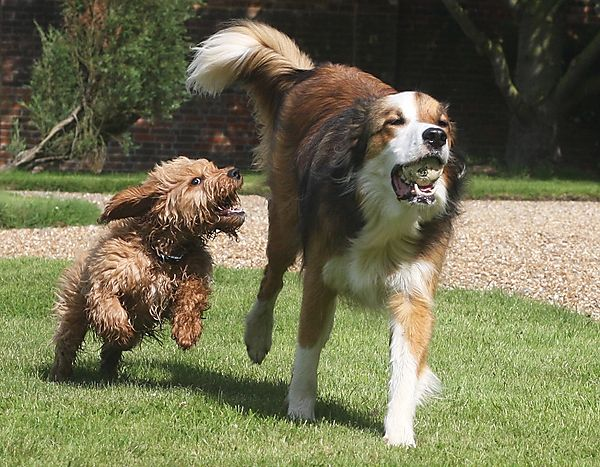 Dogs playing chase