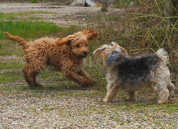 Ziggy the Cockapoo meets Cornie, Norfolk Terrier