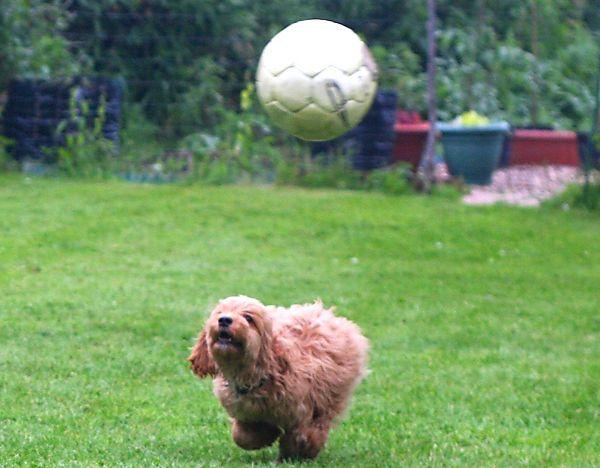 Ziggy the Cockapoo playing football
