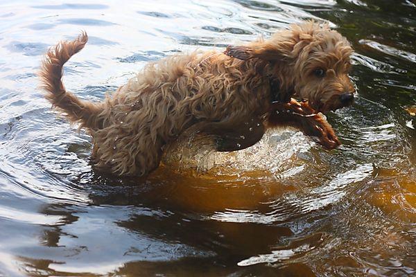Cockapoo swimming
