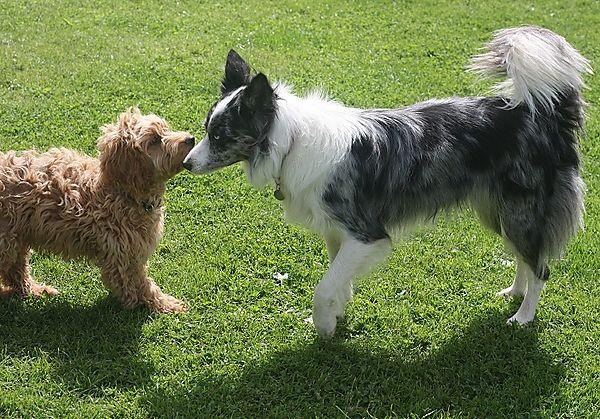 Coakapoo and Collie dog