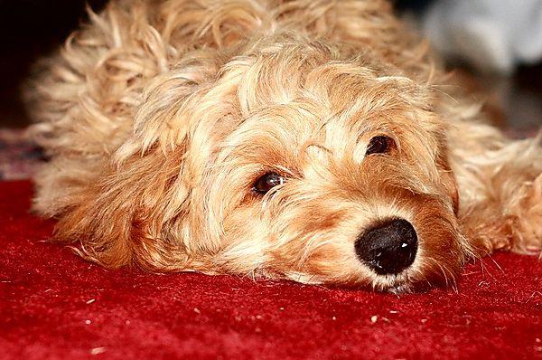Cockapoo Puppy Ziggy