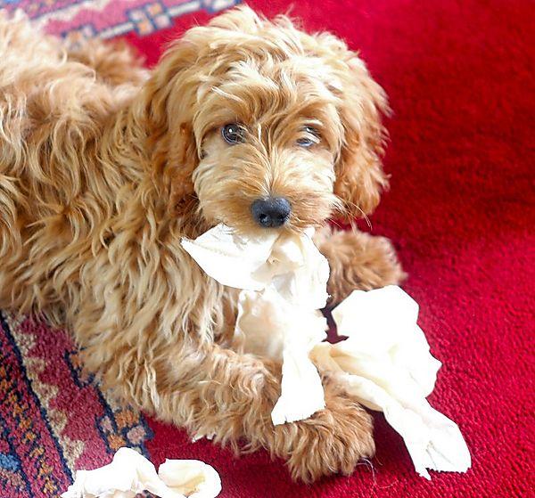 The next Andrex Puppy - Ziggy the Cockapoo