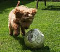 Ziggy the Cockapoo playing football