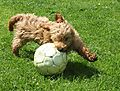 Cockapoo playing football