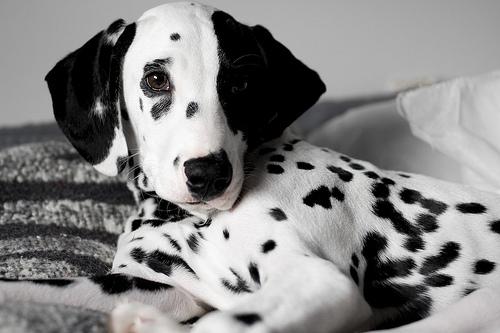 Portrait of a Dalmatian